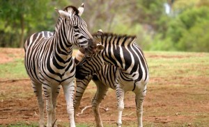 zebra-worz-1-animal-profile-web620