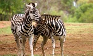 zebra-worz-1-animal-profile-web620
