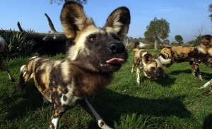 african-wild-dogs-animal-web620