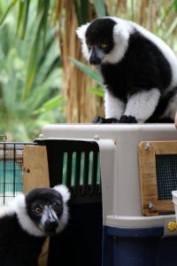 The transport of Polo, a black and white ruffed lemur from Perth Zoo to his new home at the National Zoo in Canberra