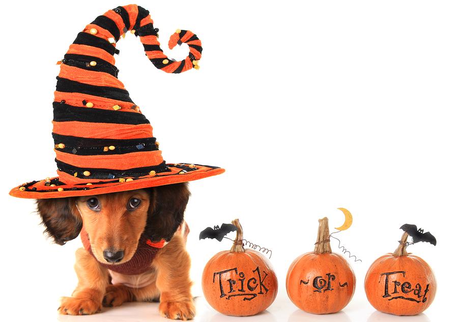 Halloween dachshund puppy wearing a Halloween witch hat plus pum