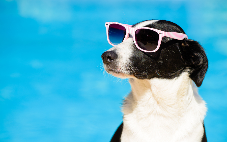 Funny Dog With Sunglasses On Summer Towards Swimming Pool - Caring for your pets and native animals in summer