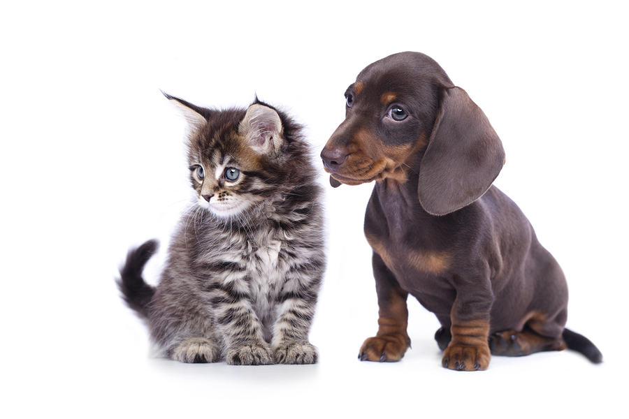 cat and dog, dachshund puppy and kitten. A New Puppy or Kitten for your Family