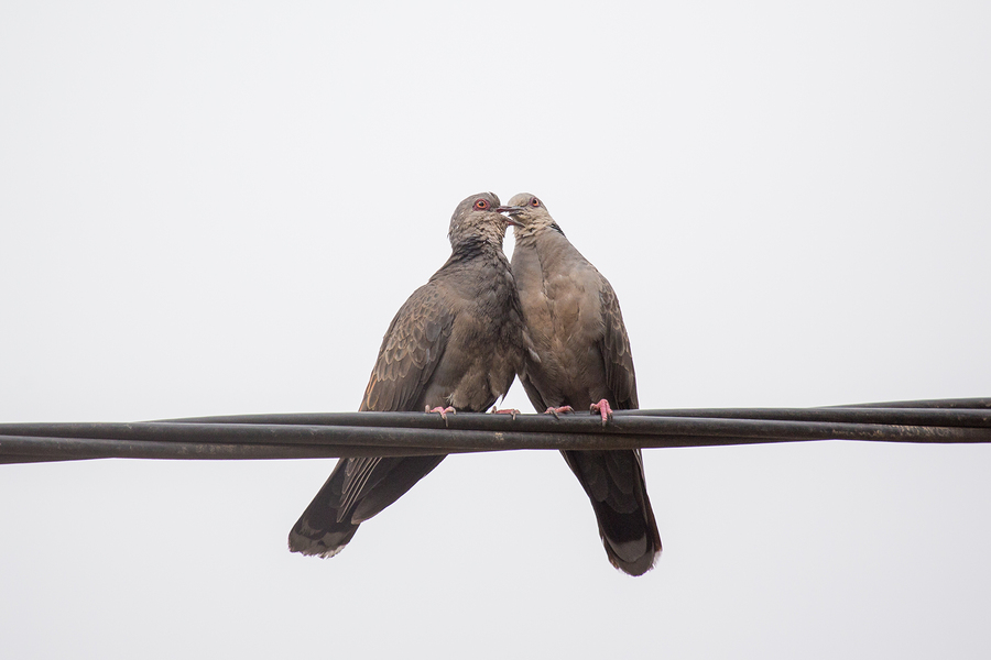 Dusky Turtle Dove Kiss