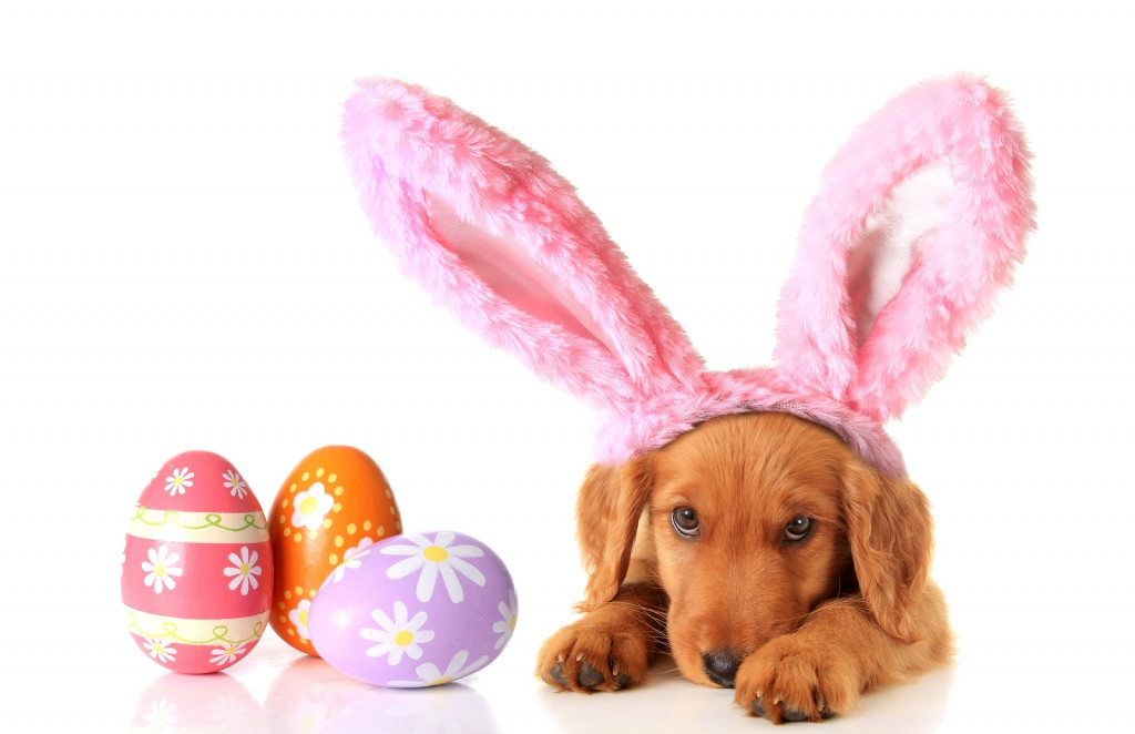 An Irish Setter puppy wearing Easter bunny ears, surrounded by E