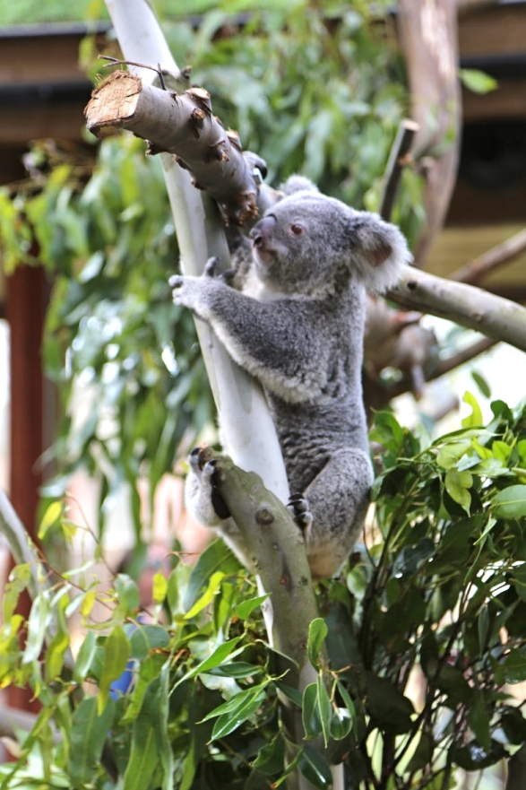 Global Koala Move | Koalas to Belgium | Jetpets | Zoo Moves | International Pet Transport