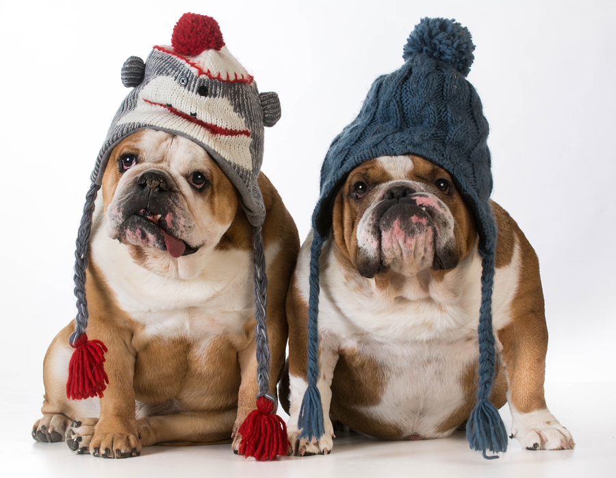 two dogs dressed for winter - english bulldogs wearing winter ha