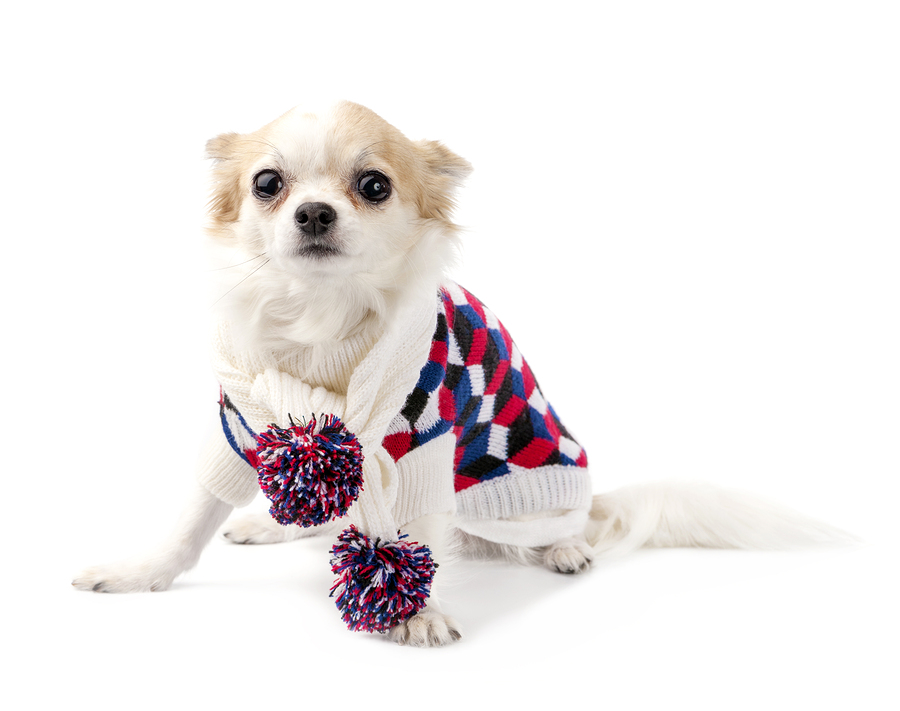 Chihuahua dog wearing knitted scarf with colorful pompoms and tu