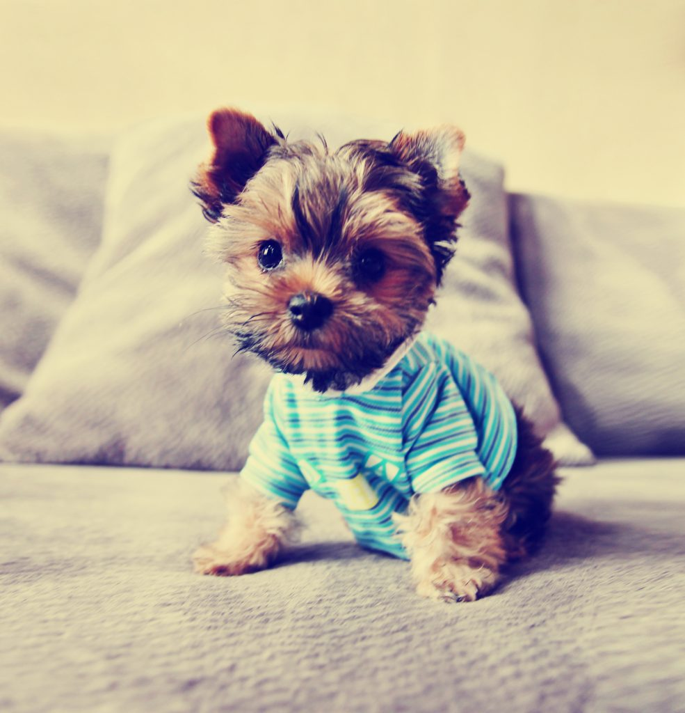 a cute yorkie in a shirt toned with a retro vintage instagram fi