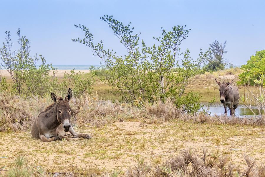 Mannar Donkeys