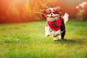 tricolor cavalier king charles spaniel dog playing and running w