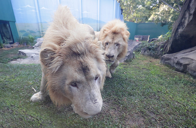 Dreamworld | Jetpets | Holden and Kimba | White Lions
