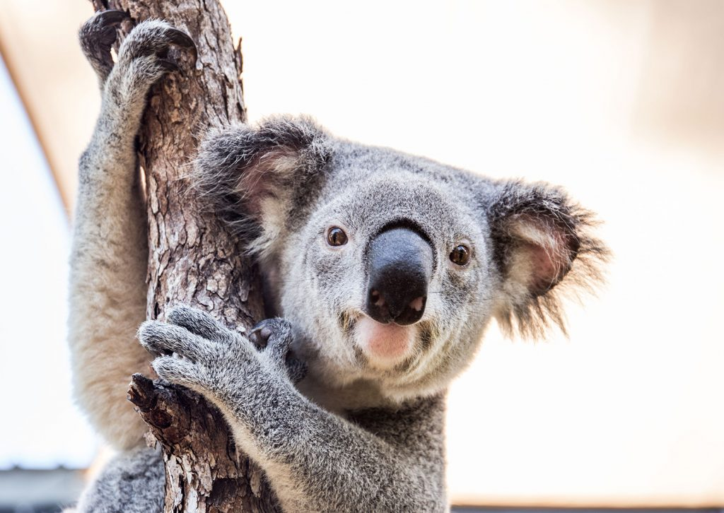 Koala | Animal Moves | Jetpets | Hamilton Island