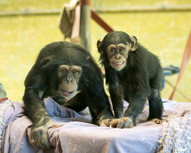Chimpanzee Breeding Program | Jetpets | Zoo Moves | Pet Transport | Pet Imports | Pet Movers