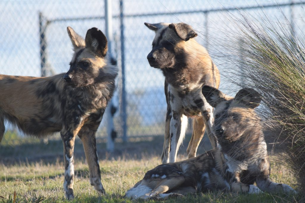 African Painted Dogs | Jetpets | Flying Animals | Dog Transport | Pets International