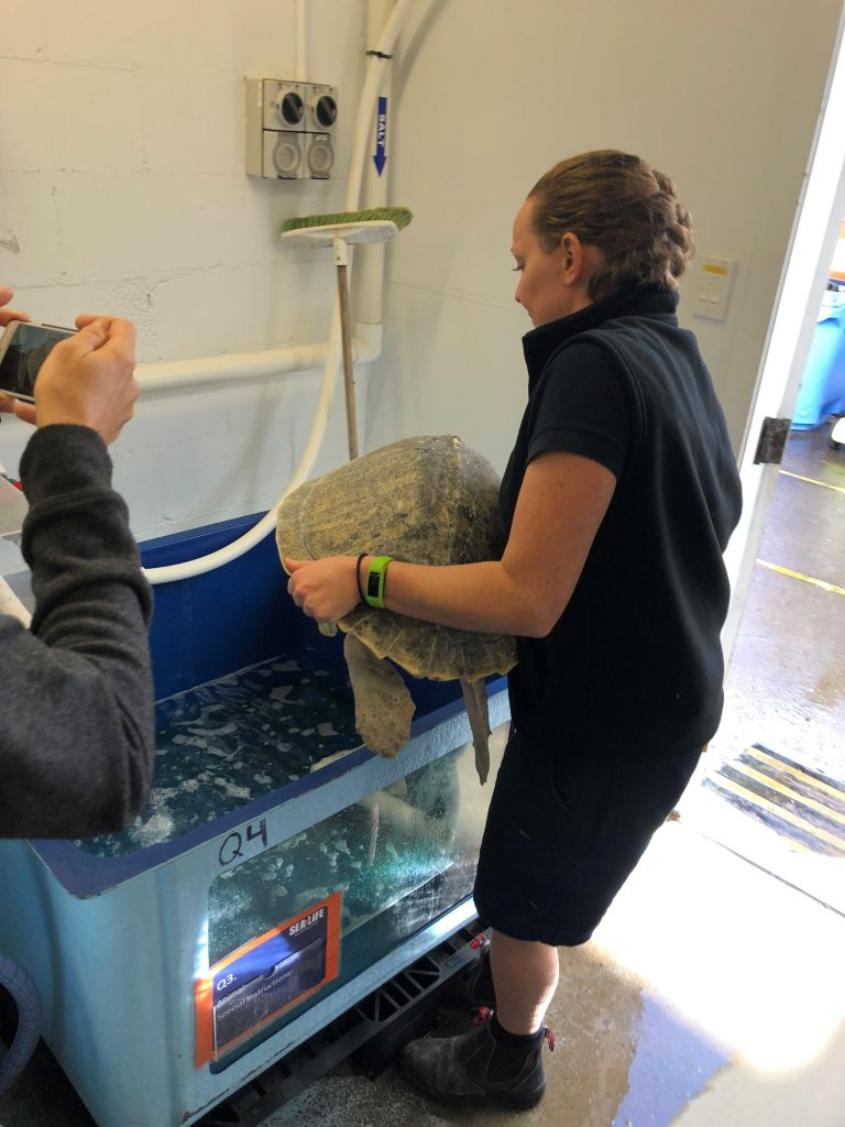 Extra Virgin Is placed in to her rehabilitation tank after her journey