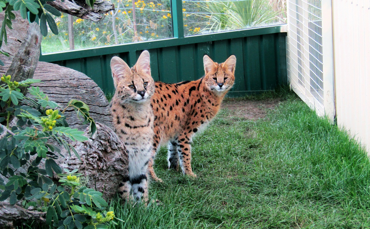 Levi (left) and Keeno (right) explore their new enclosure after their flight from Melbourne.