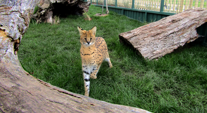Keeno playing among the various logs and perches in his purpose-built enclosure.