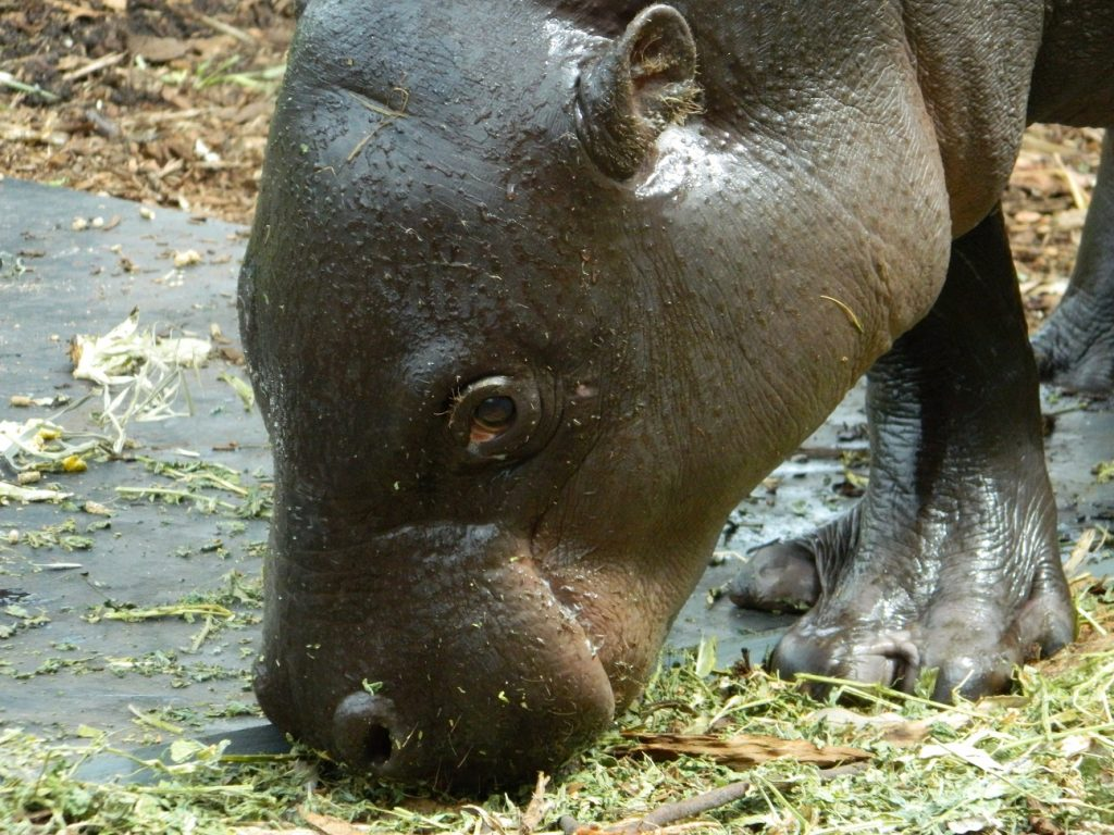 Pygmy Hippo | Zoo Moves | Jetpets | Global Pet Travel